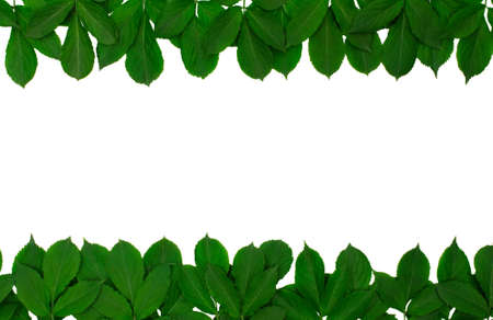 border of green leaves isolated on white photo