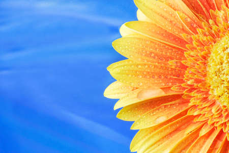 Yellow gerbera on a blue background Stock Photo - 10279704