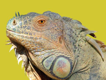 imperturbable: Head of Iguana - side view.