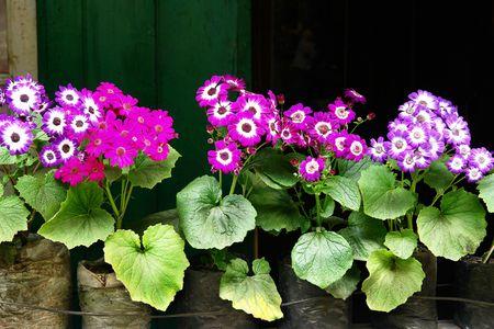 Violetas de diversos colores en potes. Flores de Himalaya. Foto de archivo - 2888602