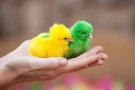 Two tiny  newborn chickens of different colors photo