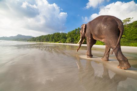 Walking elephant on the tropical beach background. Havelock island, India.