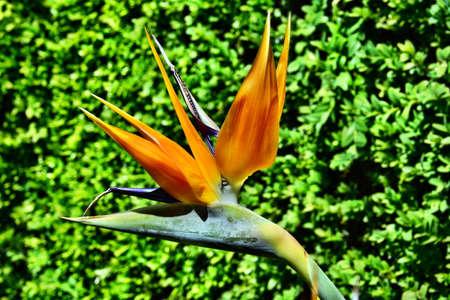 ave del paraiso: Flor ave del para�so