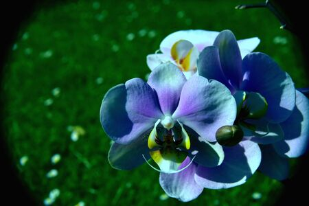 blue orchid: blue orchid Stock Photo
