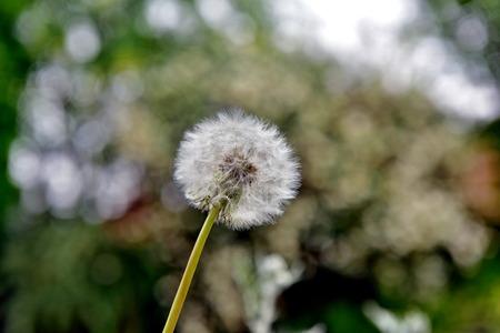 glades: dandelion
