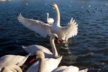 krakow: Swans in Krakow