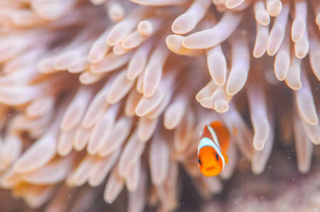 ocellaris clownfish: Common Clownfish Stock Photo