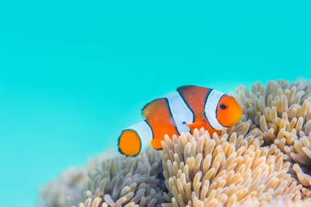 Common Clownfish Stockfoto