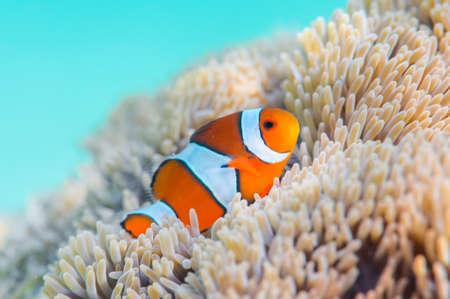 clownfish: Common Clownfish Stock Photo