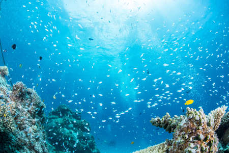 damselfish: Blue green chromis Stock Photo