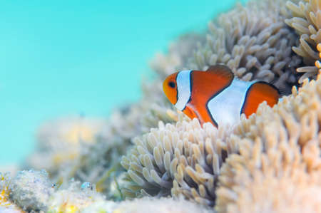 amphiprion: Common Clownfish Stock Photo