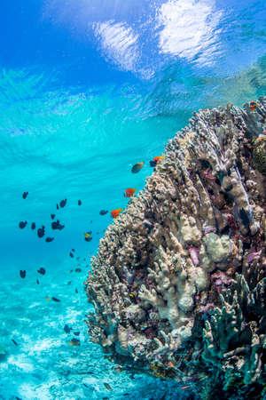 Colony of Anemonefish
