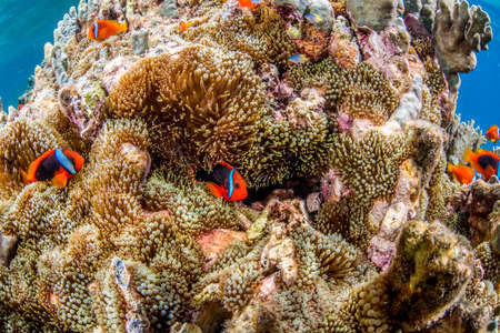 red coral colony: Colony of Anemonefish