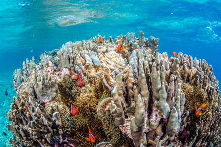 amphiprion bicinctus: Colony of Anemonefish