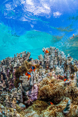 Colony of Anemonefish