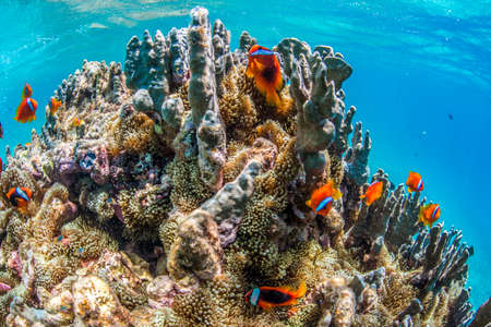 sea world: Colony of Anemonefish