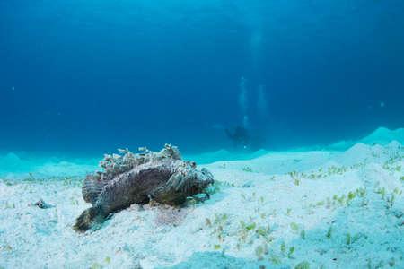 stonefish: stonefish