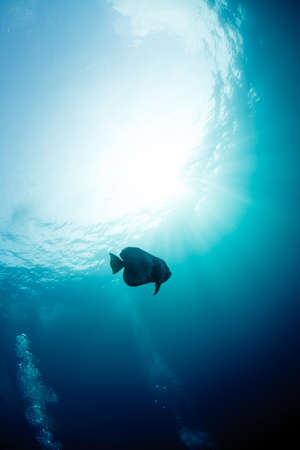 platax: Batfish Stock Photo