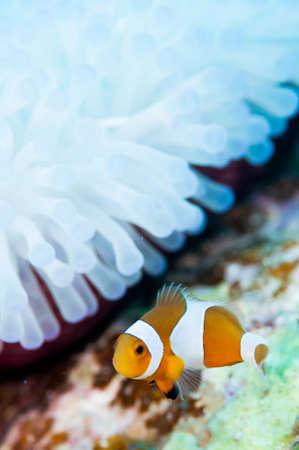 percula: Clownfish live in bleached sea anemone Stock Photo