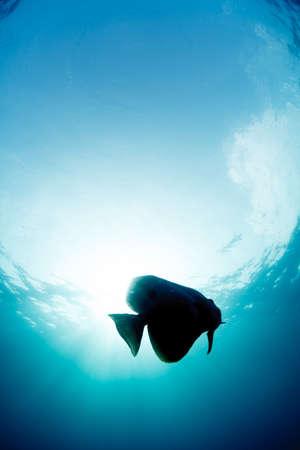 longfin: Batfish Stock Photo