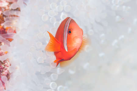 amphiprion bicinctus: Anemonefish live in bleached sea anemone