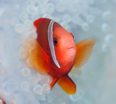 Anemonefish live in bleached sea anemone
