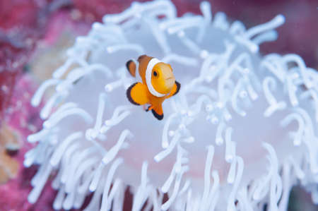 Clownfish live in bleached sea anemone Stock fotó