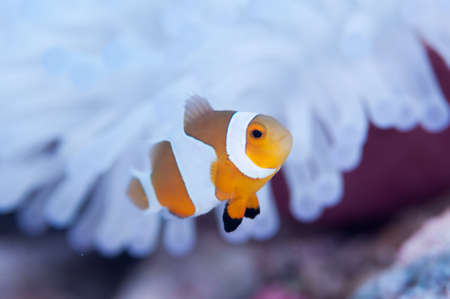water ecosystem: Clownfish live in bleached sea anemone Stock Photo