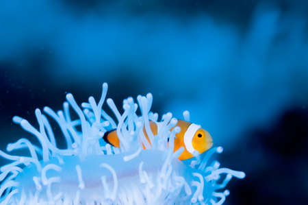 Clownfish live in bleached sea anemone Stock Photo