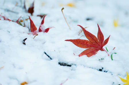 Autumn leaves and snow