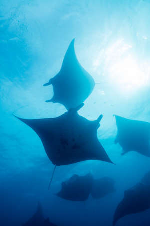 School of Manta Ray Stock Photo