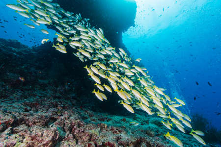 School of Blue lined snappers Stock Photo