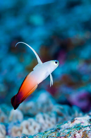 Fire Goby Stock Photo