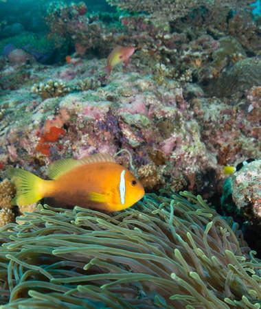 Maldives Anemonefish