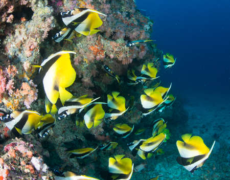 chaetodontidae: Masked Bannerfish Stock Photo