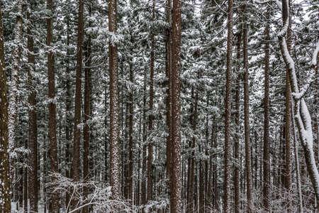 森が雪に覆われています。