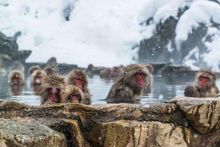 Snow Monkey in the spa