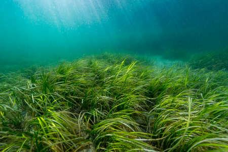 Eelgrass 침대