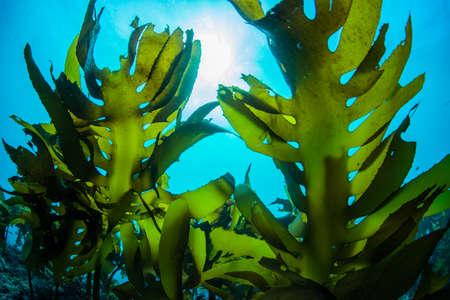 Bos van zeewier
