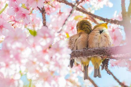 Cherry blossom and White-eyes