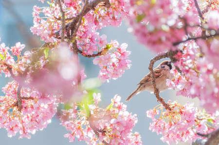 벚꽃과 참새 스톡 콘텐츠