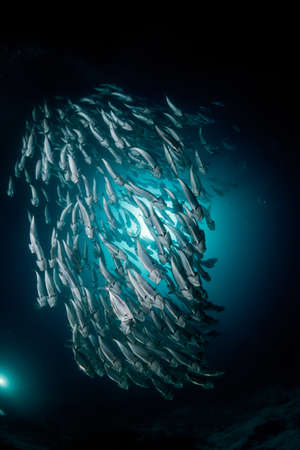 blue fish: Indian mackere at night