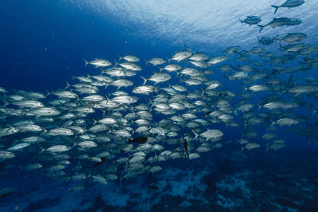 School of Bigeye trevally