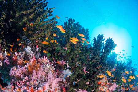 softcoral: Beautiful coral and Sea goldie Stock Photo