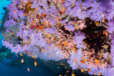 blue fish: Beautiful softcoral and Sea goldie