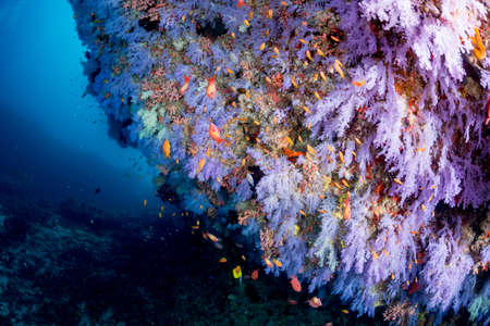 softcoral: Beautiful softcoral and Sea goldie