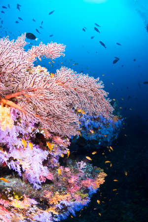 softcoral: Beautiful softcoral