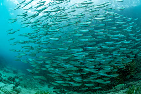 The school of juvenile sardine Imagens