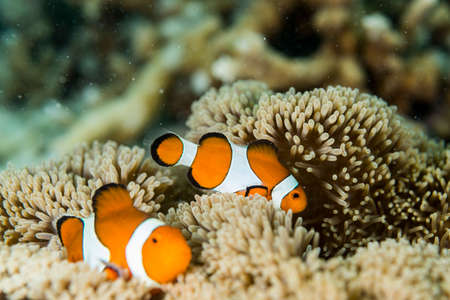 Anemonefish Stockfoto