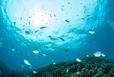 School of damselfish and chromis Stockfoto
